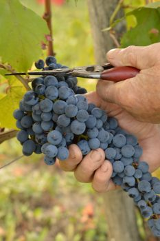 Produzione, promozione e sostenibilità: il futuro dei vini delle Langhe